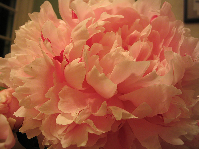 Better Times Peony